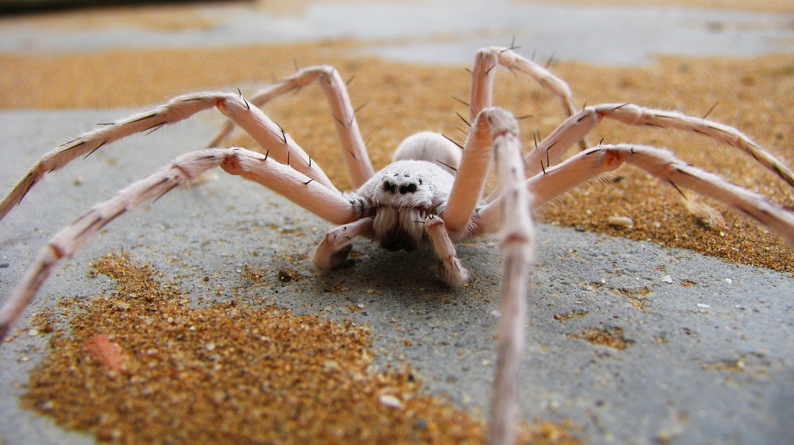 Real Monstrosities: Dancing White Lady Spider
