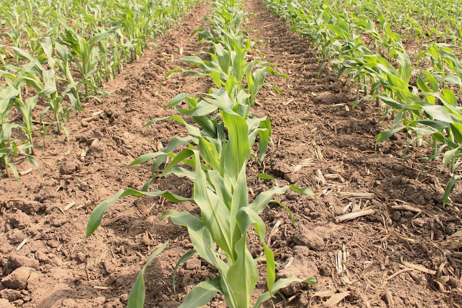 Farm Friday Update - Corn Early-June