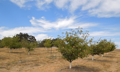 Apple Orchard at Jack Creek Farm, 2014, © B. Radisavljevic