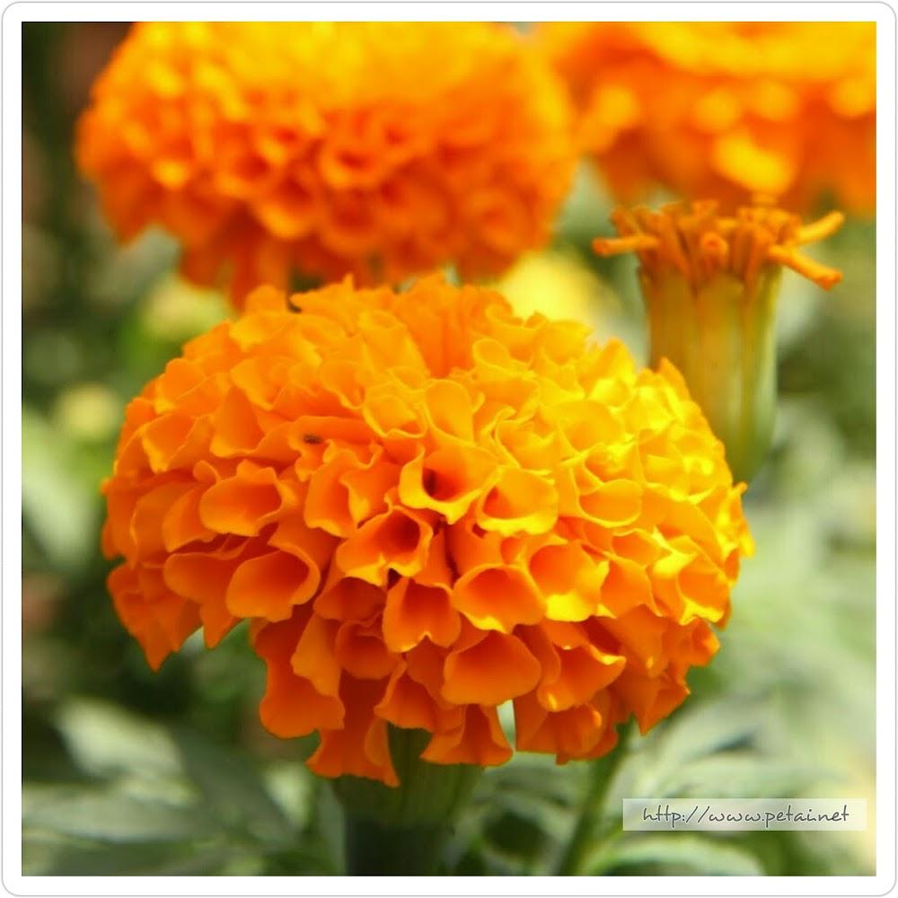 Bunga Tahi Ayam