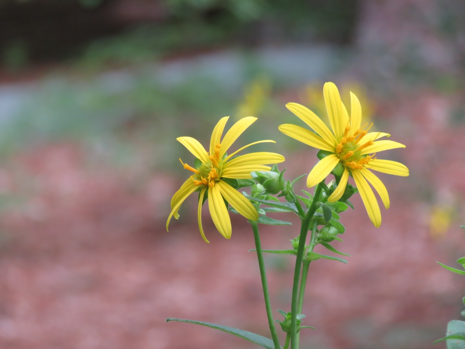The wildlife garden in the h l blomquist garden of native plants - Starry Rosinweed Photo By Sue Lannon