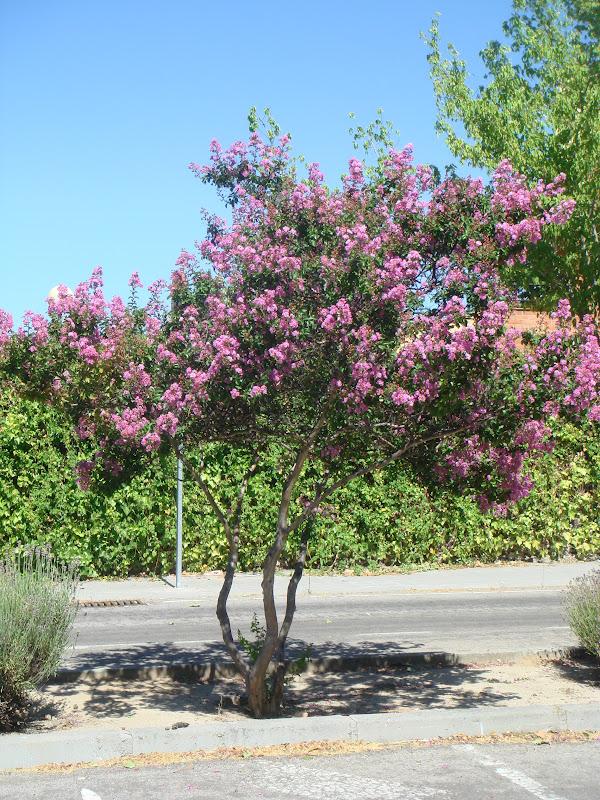 Flora urbana de getafe rbol de j piter - Arbol de rosas ...