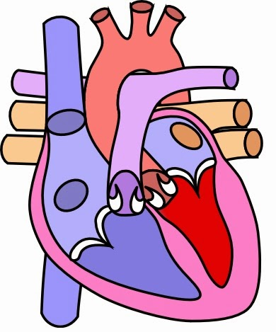 Fakta Unik Tentang Jantung Kita