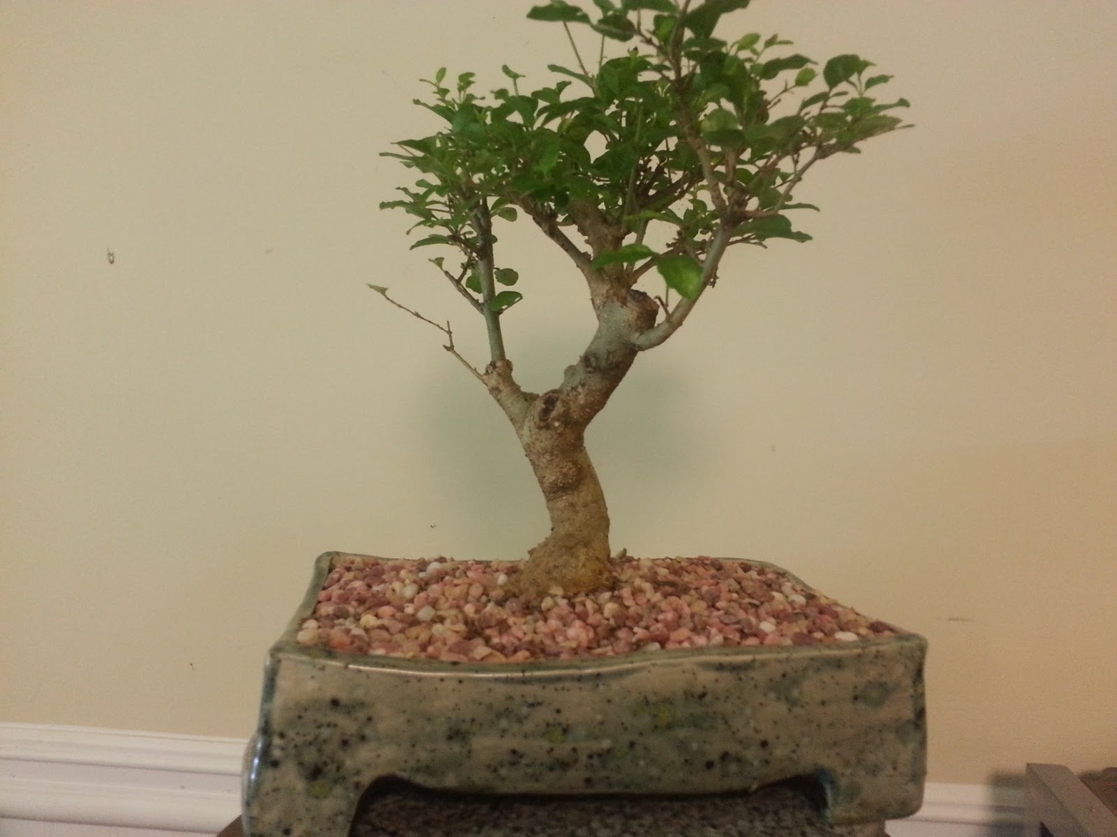 Bodhisattva Bonsai Another Privet Bonsai Gets It39s First Pot
