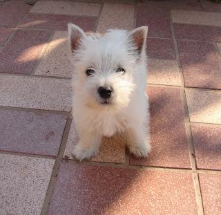 West Highland White Terrier : ประวัติ ปีเตอร์แพน(เวสตี้)