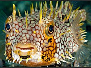 foto hewan aneh ikan buntal landak