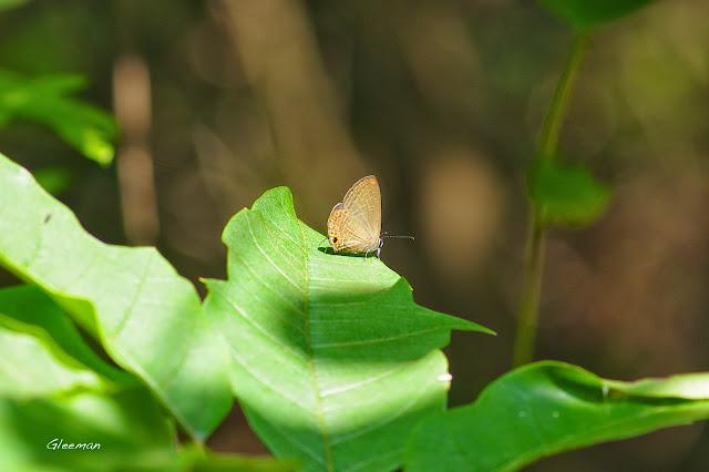 雞南山散步,雅波灰蝶