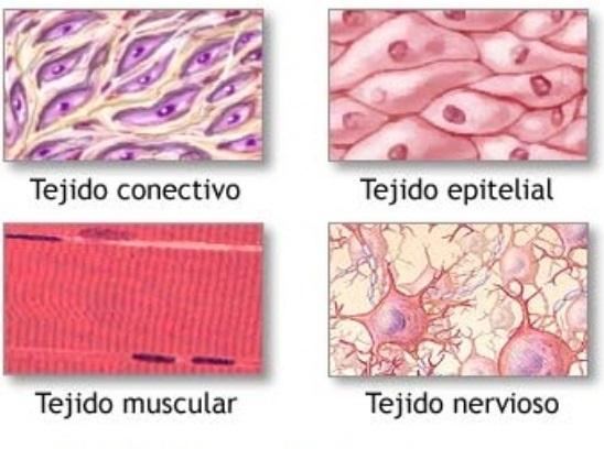 Enfermerainforma conceptos b sicos tejidos rganos - Tipos de tejados ...