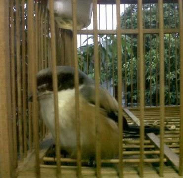 Tips Jitu Mengatasi Burung Cendet Manja