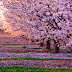 MOST BEAUTIFUL CHERRY BLOSSOMS AROUND THE WORLD