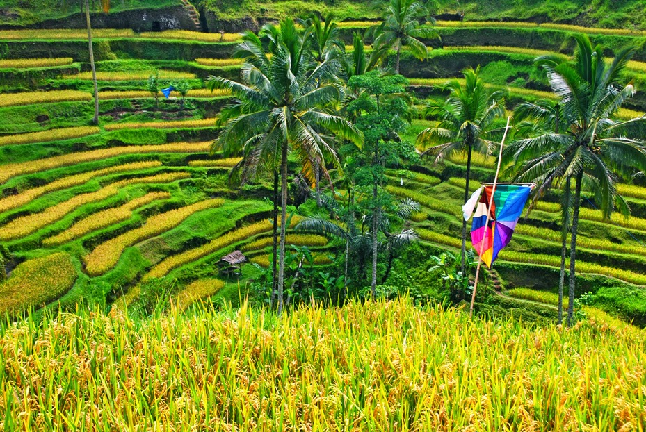 Sawah terasering ubud ( Ubud rice terrace)