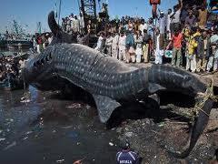 Ikan Hiu Raksasa, Terbesar Di Dunia - Alam Mentari