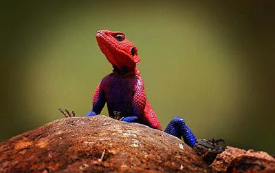 Real Spider man Lizard