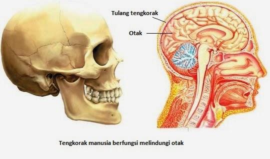 Tengkorak Manusia melindungi otak  dan organ lain didalamnya