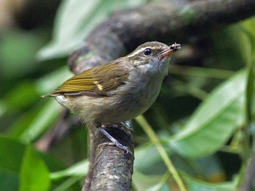 Large-billed-Leaf-Warbler-Udawatta_Kele_Sanctuary-Sri_Lanka