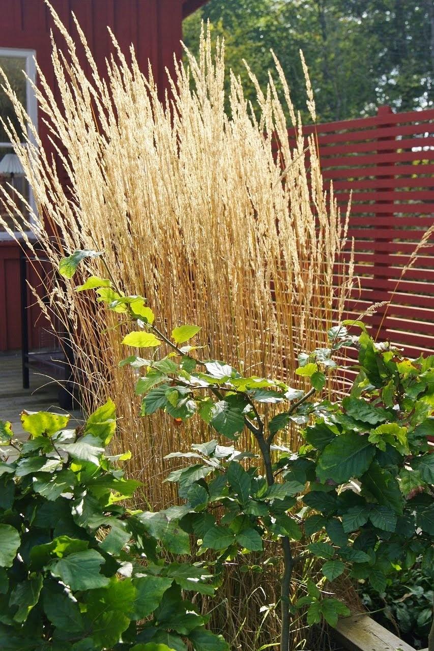 Gräset skiner som guld!