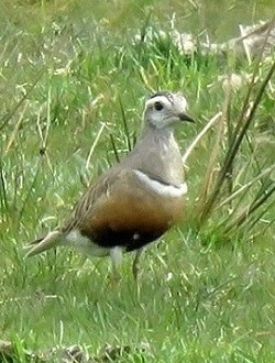 Dotterel