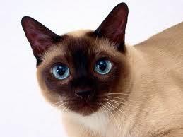 ¿Cuál es el gato más sociable?