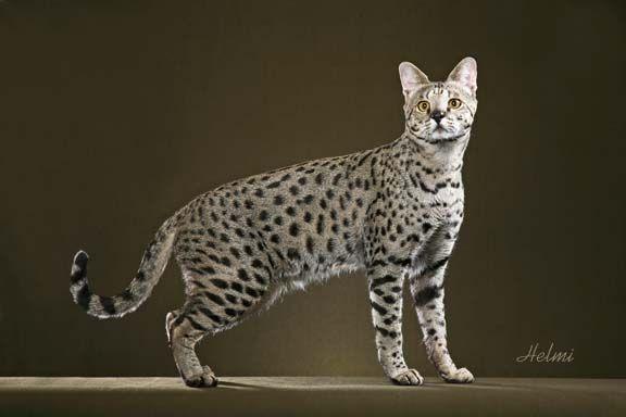 7 Kucing Paling Populer di Dunia [DuniaQ Duniamu]