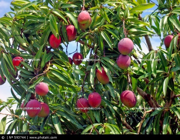 how to prepare to plant a mango tree