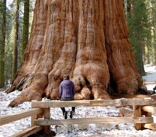 big trees, trees, hutan trpois, pohon, pohon raksasa, sherman tree
