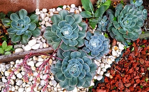 Pebbles can be used for Succulents