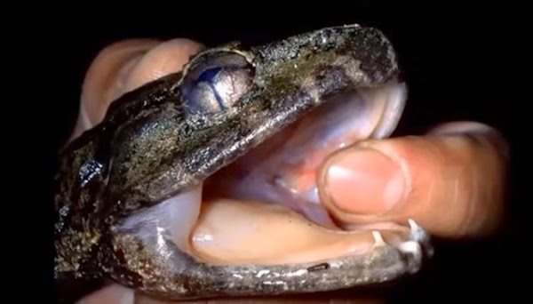 The fanged frogs, dubbed as Limnonectes larvaepartus.