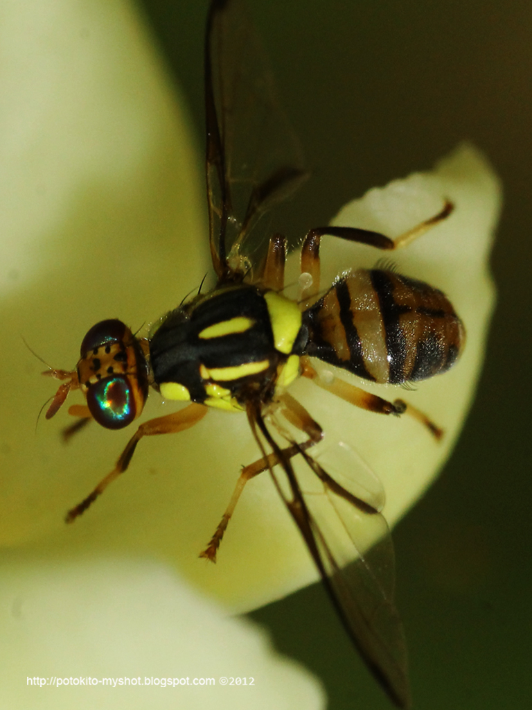 Papaya Fruit Fly (Bactrocera papayae) Sumatra Indonesia