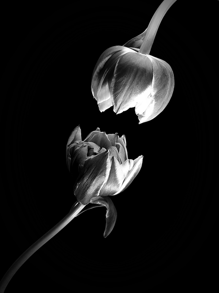 fotografia de tulipas preto e branco, photo of flower black white