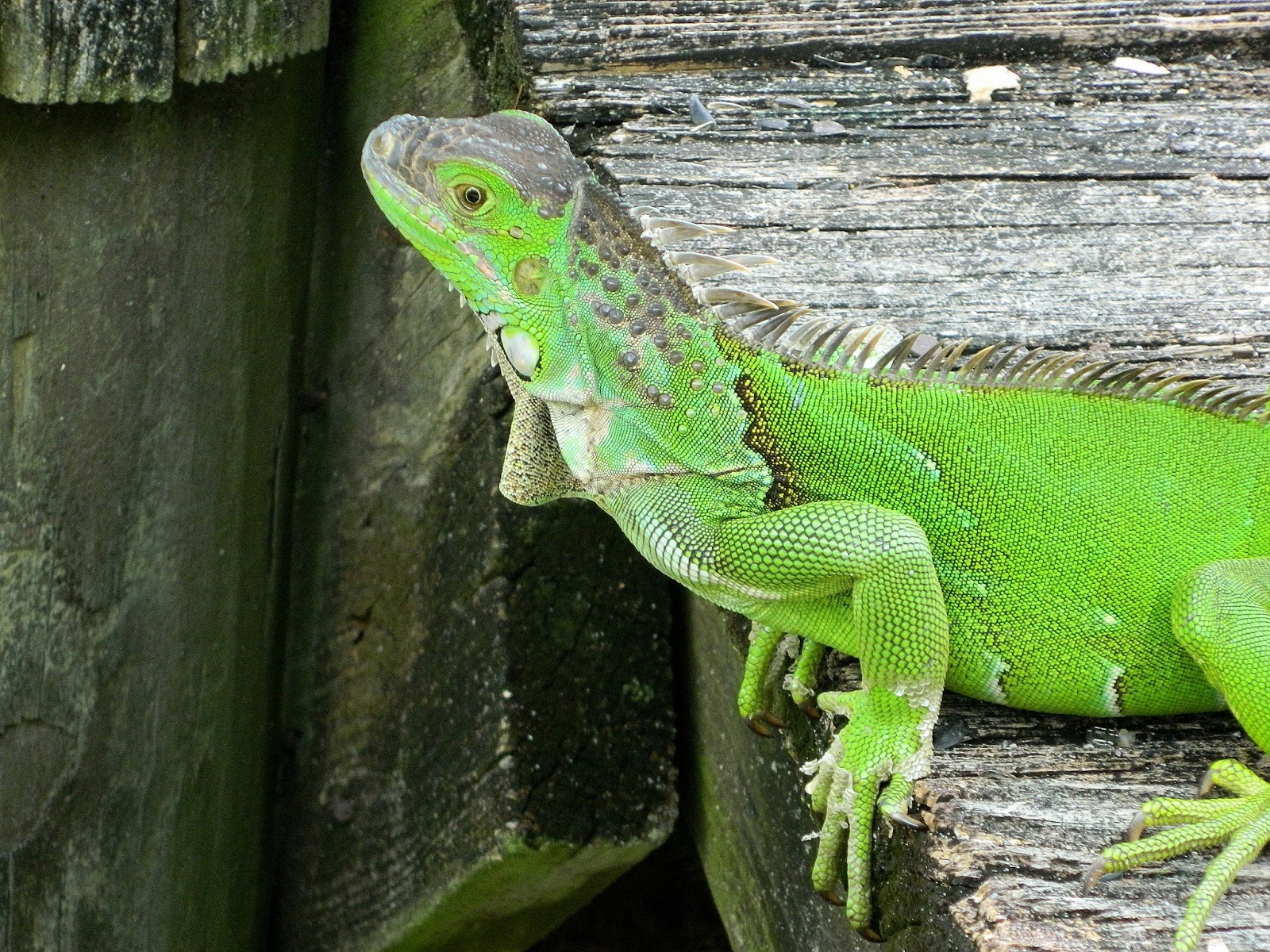 the iguana with the sweet face visits again and black foot mates