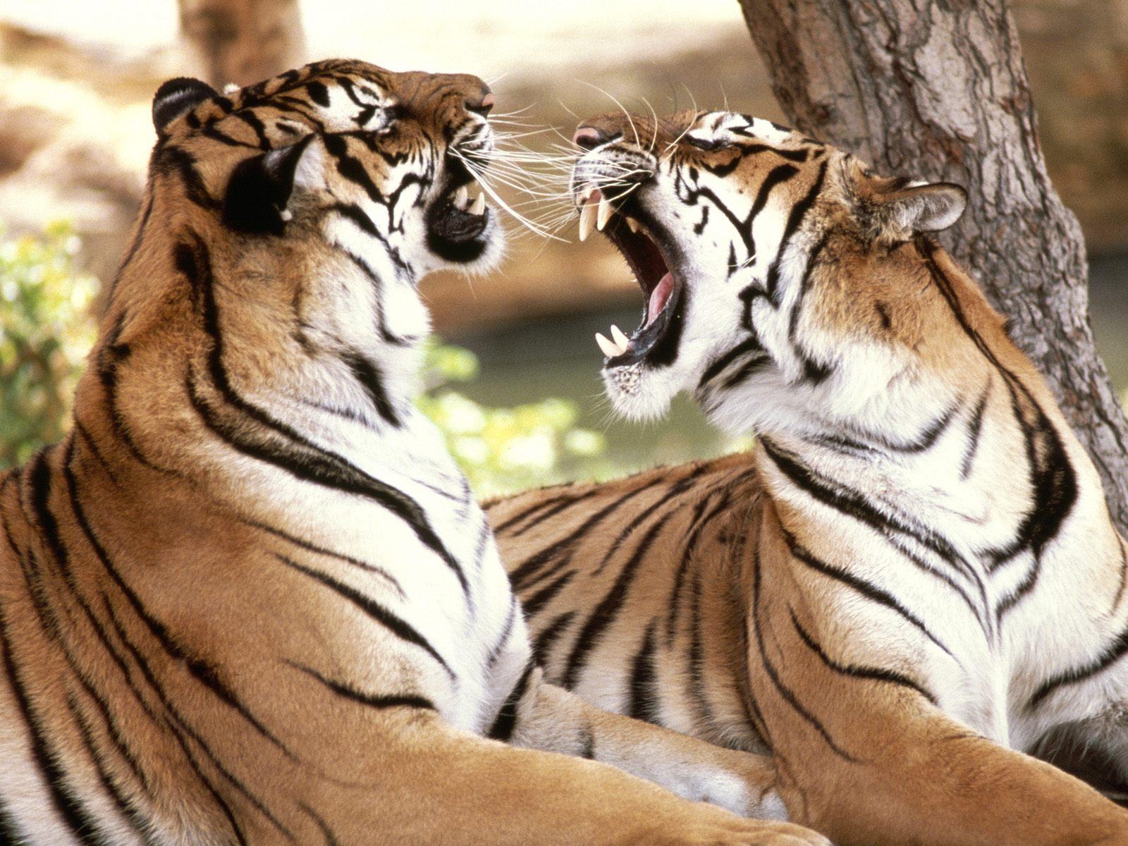http://2.bp.blogspot.com/-QAF6aRkL1LE/ThCMvJNXh6I/AAAAAAAAADo/ipLdlBXM0bs/s1600/tigers.jpg