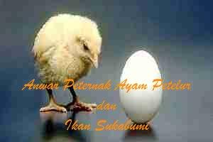 DOC Ayam Petelur - Anwar Peternak Ayam Petelur dan Ikan-Sukabumi