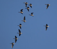 Pink Footed Geese over Ogden