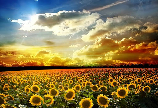 Sun Flowers Wallpapers