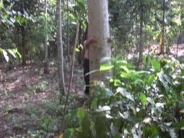 pohon yang besar