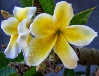Plumeria 'Celadine'