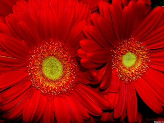 Girasoles rojos
