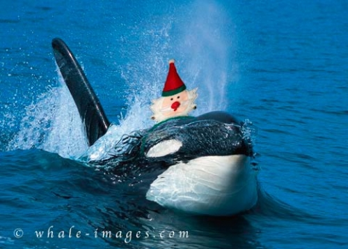Funny Orca Whale