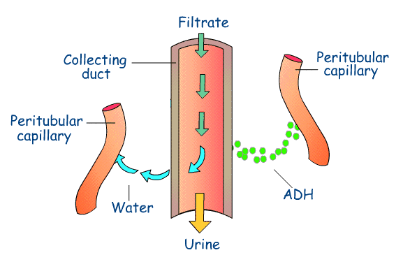 relationship between adh and urine