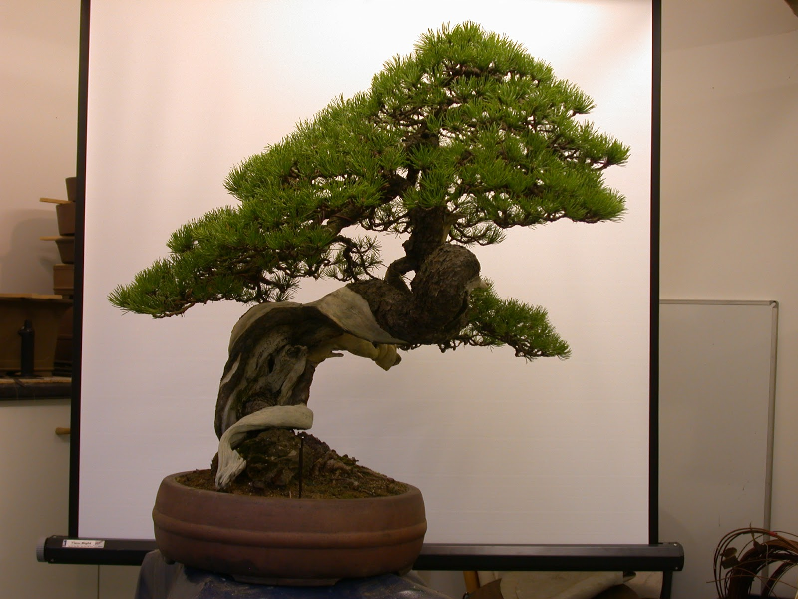 Steve Tolley39s Bonsai And Suiseki Blog July 2013