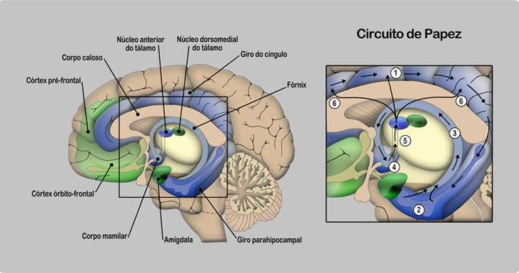 Circuito De Papez : Temas de psicología científica teorÍas clÁsicas de la