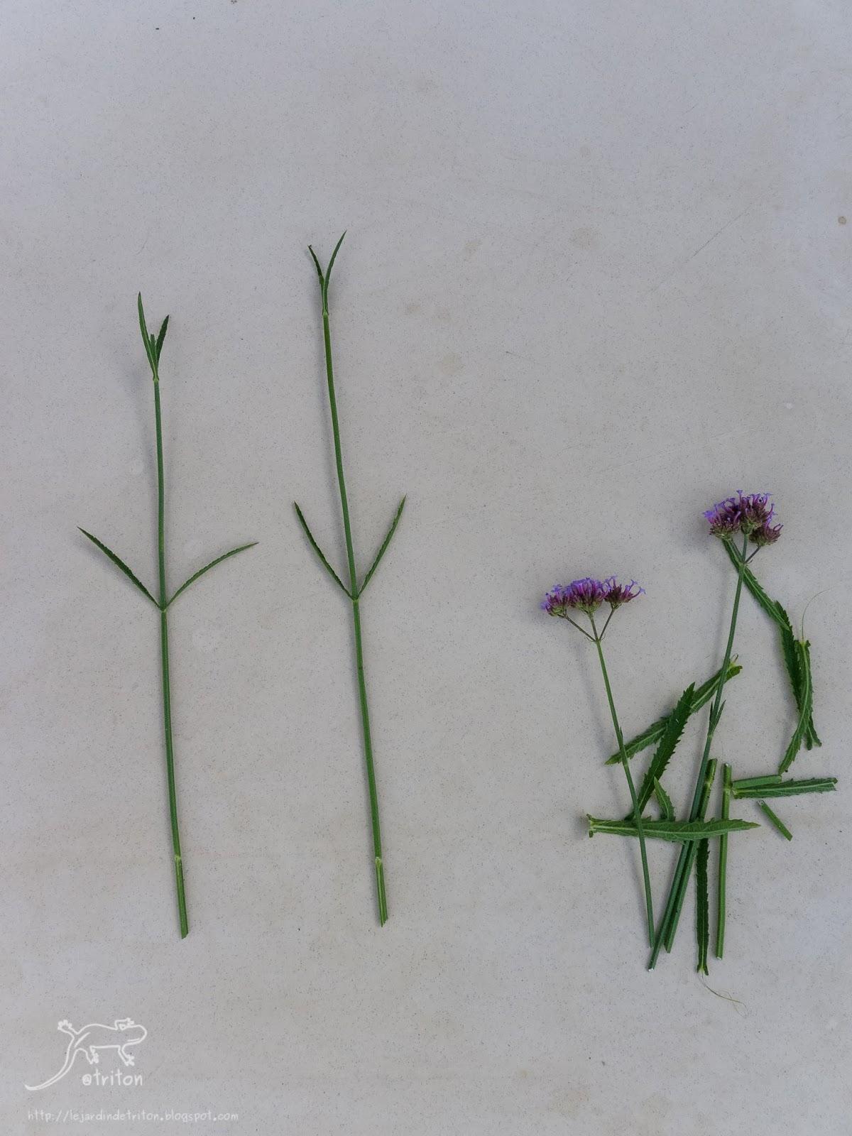 Le jardin de triton bouturage facile de la verveine de buenos aires verbena bonariensis - Planter de la verveine ...