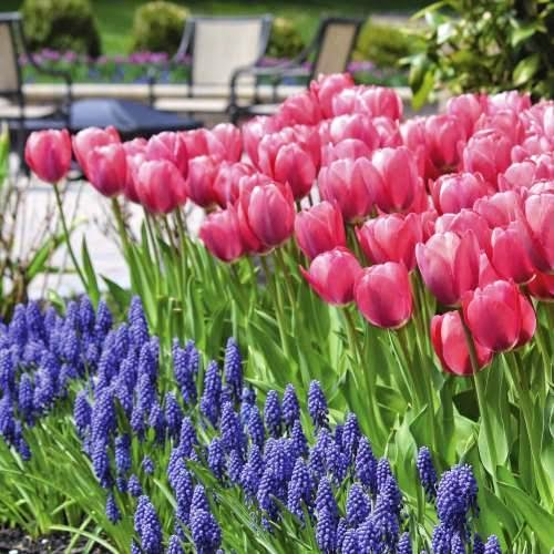 perfect pairs Tulip Mystic Van Eijk and Muscari Armeniacum