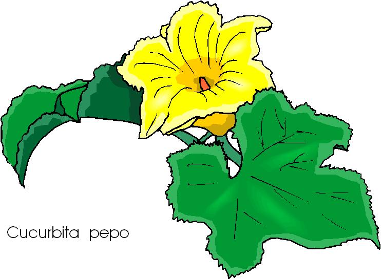 Cucurbita Pepo Flower Free Clipart