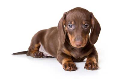 Most Popular Dog Breeds In The World Dachshund