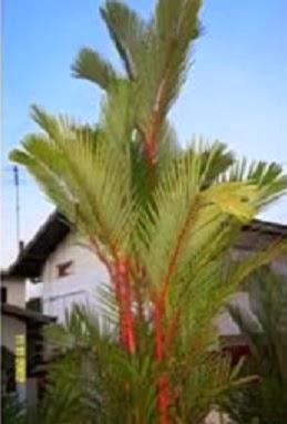 Flores ex ticas belas e raras palmeiras for Plantas exoticas online