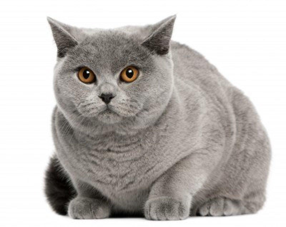 Британская кошка - характер новые фото