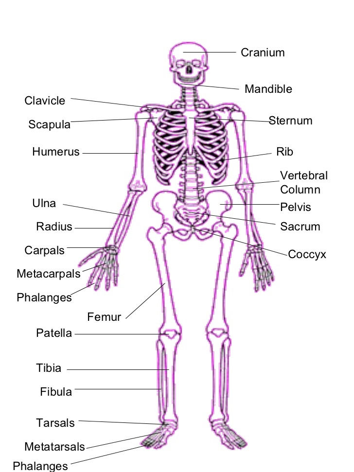 Wills Body Blog Skeletal System