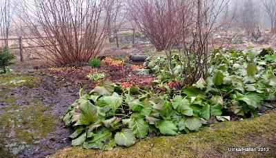 trädgård perenner