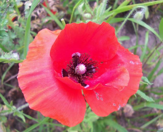 Red Prickly Poppy wildflower at White Rock Lake, Dallas, TX